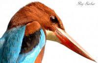 White-throated-kingfisher-Salt-Lake-West-Bengal-India-Raj-Sarkar-600x389