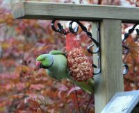 ring-necked parakeet on our feeder