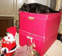 Blackie Bear enjoying the ornament boxes