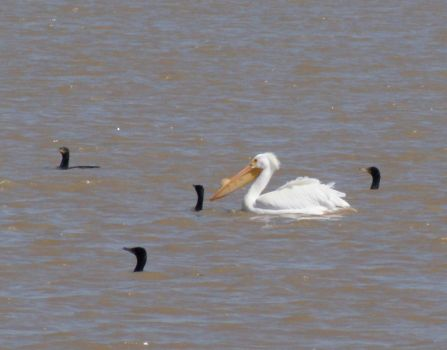 A closer view of the White Pelican