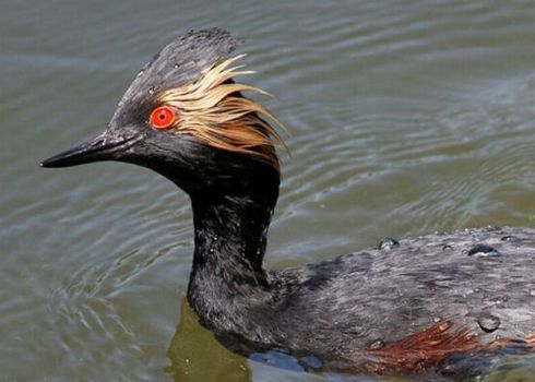 Eared Grebe - California....
