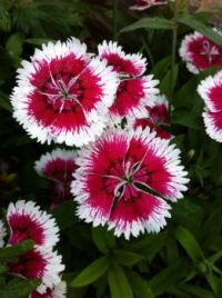 Red and White Dianthus