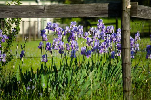 Irises Behind the Fence
