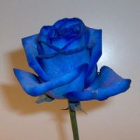 rosa blava
