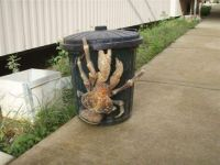 Coconut crab, and then some!