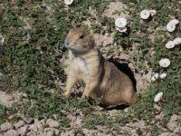 ey Prairie Dogs 19 June 17 (12)