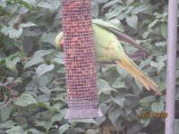The ejected Parakeet flew to the peanut feeder to eat.