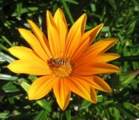 Orange Gazania with a visitor