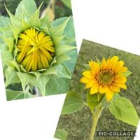 Sandra's Sunflower