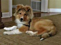 Reclining 3 month old Sheltie puppy