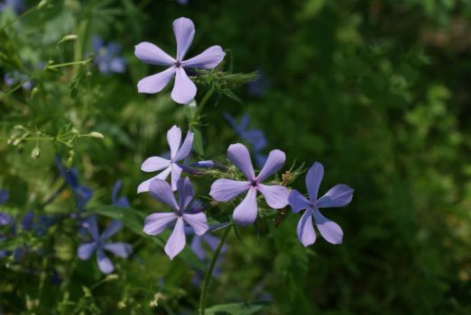 Wild phlox in the woods.