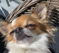 Bambi the sunbathing Chihuahua ♥️
