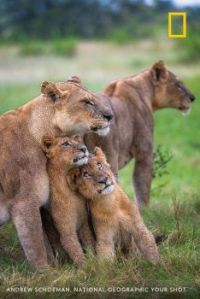 Lion Family During a Rain Storm