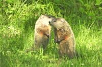 How much wood would a woodchuck.....