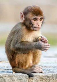 Little monkey