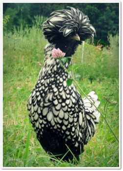14. Gorgeous And Unusual Birds - Sup, Polish Chicken [END]