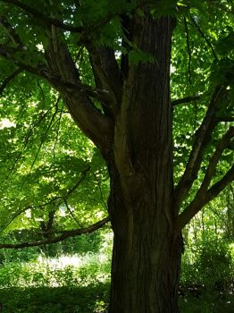 Under the sugar maple tree: Shady or no?