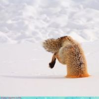 foxes commit to their hunting