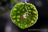 Lepanthes calodictyon miniature orchid