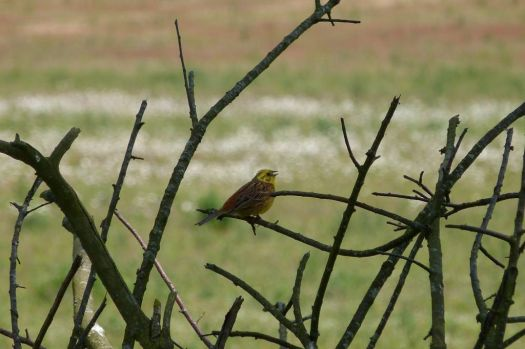 Geelgors~Yellowhammer