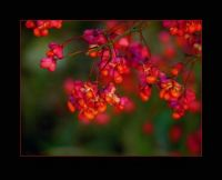 spindle blossom