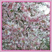 A cloud of Cherry Blossom.