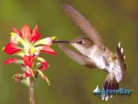 humming bird on lily