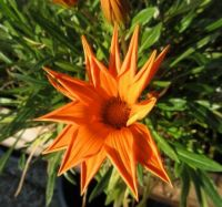 My Gazania ...in the sun