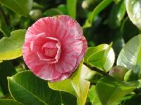 A beautiful two-toned camellia
