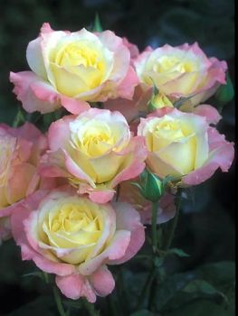 gorgeous roses - tough one