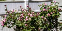 Blossom Time Rose