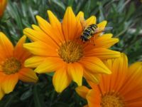 Gazania with a visitor