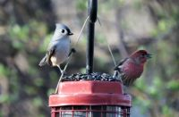 Tufted Titmouse & House Finch