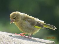 Juvenile Greenfinch.