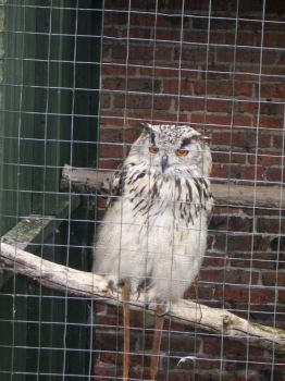 Owl at Thorp Perrow