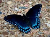 """3  ~  """"The Red spotted purple Butterfly"""""""