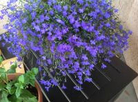 Lobelia (plus some mint)