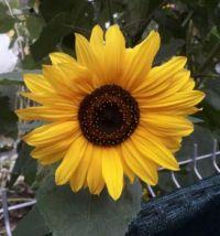 Slunečnice, sunflower