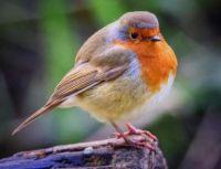 morning visitor- European Robin