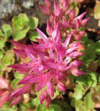 Pink Sedum blooms  close up