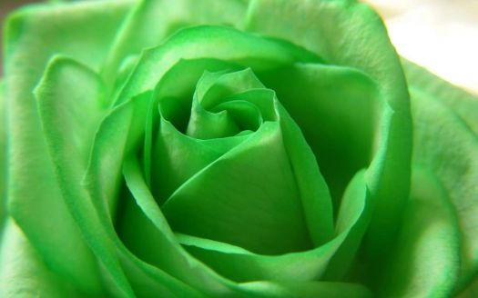 3  ~  'Vibrant Green Rose'