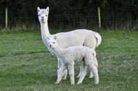 Alpacas on a farm in Somerset.