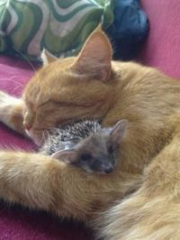 Cat-Sleeps-With-Her-Adopted-Hedgehog