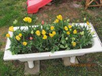 Jarní koupání tulipánů