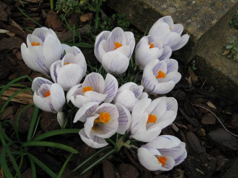 Crocuses in my garden