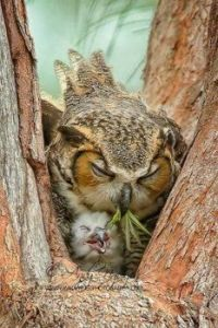 owl and chick