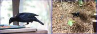 Satin Bowerbird and his Bower