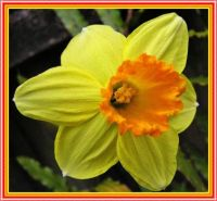 Daffodil Days in Spring.