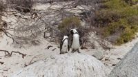 Boulder bay penguins_South Africa