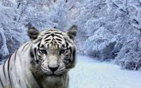 White-tiger-in-winter-forest-